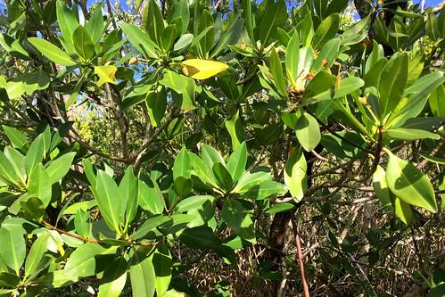 13. Mangrove