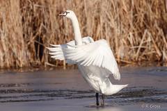 Schwan 1 (rgr_944) Tags: vögel vogel bird oiseau tiere animaux animals natur outdoor canoneos80deos7dmk2 rgr944
