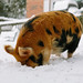 Kune Kune Pigs in the Snow-2