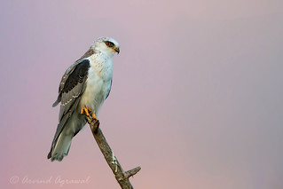 White-tailed Kite - IMG_5999-1.1
