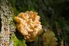 Brown Witch's Butter (Tremella foliacea) (acryptozoo) Tags: mushroom fungi basidiomycota huestonwoods witchsbutter tremella jellyfungus huestonwoodsstatepark tremellafoliacea tremellaceae tremellales agaricomycetes brownwitchsbutter leafybrain tremellomycetes