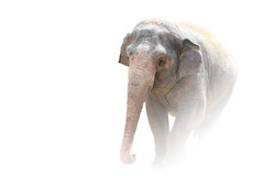 Through the Mist (Just BS) Tags: elephant nature animal giant tampa zoo big florida wildlife pachyderm whitebackground buschgardens asianelephant aza zoosofthesouth