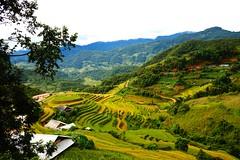 gorgeous rice paddy fields in Mu Cang Chai, Vietnam (Huyen Chen) Tags: field landscape rice