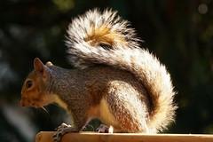 DSC04895 (Trisha Pearson) Tags: babysquirrel easterngraysquirrel