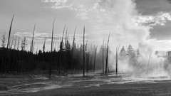 The Drowning Trees (Corvus tristis) Tags: nature landscape yellowstonenationalpark yellowstone nationalparks
