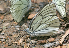 Black-veined White (Aporia crataeg) - Andorra (Andrew Bradford Images) Tags: butterfly insect blackveinedwhite aporiacrataeg