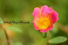 #flower #floral #flowers #macro #bokeh #uae #dubai  #dubai_creek_side_park #parks #green #nature # # # # # # # # # # #__ #_ #photography (alrayes1977) Tags: flowers flower macro green nature floral photography dubai bokeh uae parks            dubaicreeksidepark