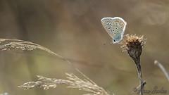 Polyommatus icarus (Sinkha63) Tags: france macro male nature animal butterfly wildlife lepidoptera papillon corrze argus limousin commonblue polyommatusicarus faune insecta lycaenidae polyommatus polyommatinae azur argusbleu azurcommun