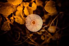 zelfontspanners wijhoeve de heikant-1759 (gmusters) Tags: orange mushroom fuji leafs groesbeek xt1