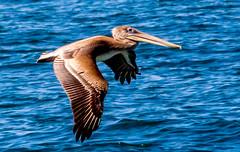 throwback from pre-historic times (susanm53@verizon.net) Tags: monterey pelican mosslanding