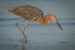 Reddish Egret, Lee County, FL [Explore 15 October 2015]