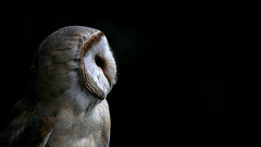 Best Side - explore 06. Okt. 2015 (Nephentes Phinena ☮) Tags: barnowl nikond300s schleiereule wildparkeekholt bird birds animals