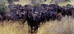 Buffalo, South Africa © Juergen Barth / Dreamstime