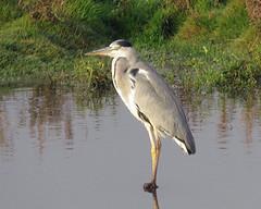 Grey Heron - Ardea cinerea (erdragonfly) Tags: ardeacinerea