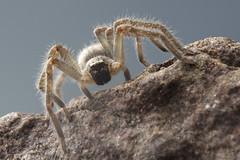 Huntsman Spider (Sean McCann (ibycter.com)) Tags: spider huntsman sparassidae arachtober