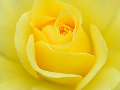 Color of the day. (Peterzpham) Tags: flower macro art love nature beauty up rose yellow garden close image ngc dream sight photograpy platinumheartaward