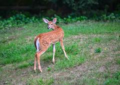 bambi (Daveyal_photostream) Tags: motion nature beautiful beauty animal animals outside outdoors movement backyard nikon outdoor tail lawn deer fawn lone d600 nikor awesomeshots mycamerabag mygearandme meandmygear