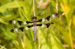 2015 Twelve-spotted Skimmer (Libellula pulchella) 8 (DrLensCap) Tags: county railroad chicago abandoned robert forest bug way insect spur fly illinois woods track dragon pacific dragonfly district union cook trails right il trail rails to preserve kramer weber preserves labagh