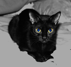 Black little kitty cat (Lludria LLud https://www.facebook.com/Lludria/?fre) Tags: black cat chat noir familier mercredi