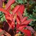 Virginia Sweetspire Fall Leaves