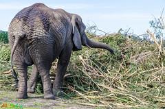 Elefant (mara.dd) Tags: africa southafrica afrika südafrika africanelephant westerncape bitou afrikanischerelefant knysnaelephantpark savannaelephant provinzwestcap