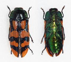 Conognatha viridiventris viridiventris (Bennyboymothman) Tags: buprestidae conognatha taxonomy:binomial=conognathaviridiventrisviridiventris