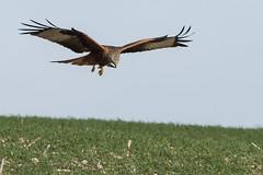 Red Kite Dec 2015 (74) (jgsnow) Tags: kite bird ngc npc raptor redkite