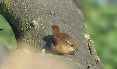 Wren (heather.rigg) Tags: nature wren smallbirds gardenbirds kiveton kivetonwoodlands
