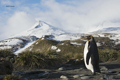 King at Salisbury Plain (featherweight2009) Tags: birds penguins seabirds kingpenguin aptenodytespatagonicus flightlessbirds southgeorgiaisland
