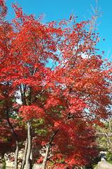 Autumn leaves in Tokugawaen, Nagoya (Ryo_052) Tags: japan autumnleaves nagoya tokugawaen xe1 xf1855mmf284rlmois