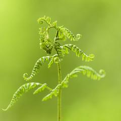 Curtsy (TrotterFechan) Tags: fern green curtsy gallaberryplantation lockerbie