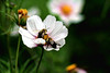 2 Bs on a C(osmos) (Brian 104) Tags: bees cosmos flower working fall garden ilobsterit
