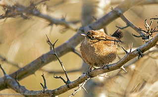 scricciolo, winter wren..