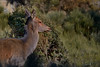 Biche qui ne broute plus... mais qui écoute ! (Patrice Baud) Tags: mammifère herbivore cerf biche élaphe cervus ciervo deer hirsch reddeer nikond7100 cerdagne montagne pyrénées wild sauvage wildlife