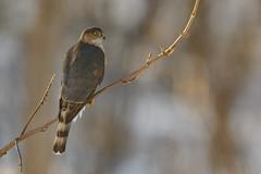 Sharp-shinned Hawk-47380.jpg (Mully410 * Images) Tags: peteshouse birdwatching birding backyard birds birder bird