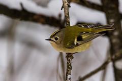Wintergoldhähnchen Regulus regulus (juergumbricht) Tags: canon eos 6d sigma 150600mm contemporary f80 wildlife snow birds wintergoldhähnchen meisen