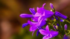 violettes 912 (Yasmine Hens) Tags: 7dwf 7dayswithflickr fleur flora flowers violet hensyasmine namur belgium wallonie europa aaa بلجيكا belgique bélgica ベルギー белгия բելգիա belgio 벨기에 belgia бельгия 比利时 bel be