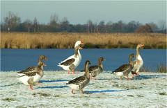 geese..........on a beautiful winter day (atsjebosma) Tags: geese ganzen winter sun snow sneeuw january 2016 atsjebosma thenetherlands leekstermeer winterday winterdag ngc