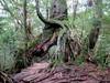 Kugurisugi Cedar (D-Stanley) Tags: taikoiwa trail kugurisugi unsuikyo natural forest yakushima island japan yakusugi cedars shiratani