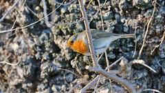 Little friend (_Nick Photography_) Tags: img0178 pettirosso erithacusrubecula winter january birdwatching country robin confidential beauty nice albero ramo