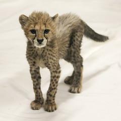 Lanky Little Fuzzy One (Penny Hyde) Tags: babyanimal bigcat cheetah cub safaripark