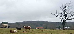 1/52 Countryside: Calf staring at my camera (Bella Lisa) Tags: 52in2017challenge countryside calves cows field cumming