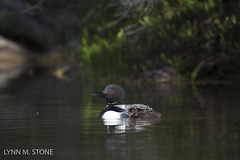 COMMON LOON (lmstonenhp1) Tags: inspirations loons newengland newhampshire psalms