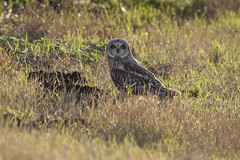Short Eared Owl on the ground (Chris Bainbridge1) Tags: asioflammeus shortearedowl cambridgeshire fens