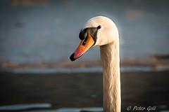 The proud swan in the evening sun (Peter Goll thx for +11.000.000 views) Tags: dechsendorf dechsendorfweiher natur winter erlangen germany schwan swan lake pond see weiher franken bayern nikon nikkor d800 water wasser