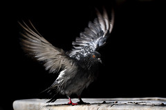 Taube - Abgekühlt (Pana53) Tags: photographedbypana53 pana53 naturfoto naturfotografie naturportrait tier vogel fauna taube gefieder flügel anflug nikon nikond500 greece kreta griechenland island insel