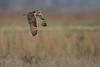 R17_7449 (ronald groenendijk) Tags: cronaldgroenendijk 2017 asioflammeus rgflickrrg animal bird birds birdsofprey groenendijk nature natuur natuurfotografie outdoor owl owls ronaldgroenendijk roofvogels shortearedowl velduil vogel wildlife