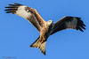 Red kite in flight at harewood (mido2k2) Tags: redkite red kite flight bird avian feathered raptor prey hawk falcon hunter carrion soar awesome stunning nikon d5300 sigma 150500mm west yorkshire muddy boots harewood photography nature natural wild wildlife ornithology flickr explore villager fantastic mido2k2