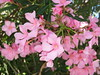 Oleander (RS 1990) Tags: oleander flowers shrub plant edwardstown crossrd adelaide southaustralia wednesday 4th january 2017