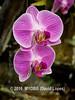 Duke Farms orchids-4142067-2 (myobb (David Lopes)) Tags: dukefarms hillsborough nj newjersey flower nature orchids olympus em1 omd